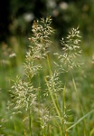 Yellow Oat-Grass (Trisetum flavescens)