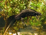 Great Crested Newt (Triturus cristatus)