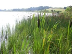 Bulrush, Cattail, Greater Reedmace (Typha latifolia)
