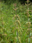 Narrow-Leaved (Urtica dioica)