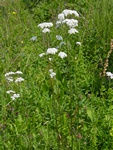 Common Valerian (Valeriana officinalis)