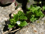 Green Field Speedwell (Veronica agrestis)