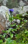 Alpine Speedwell (Veronica alpina)