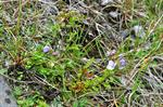 Rock Speedwell (Veronica fruticans)
