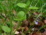 Wood Speedwell (Veronica montana)