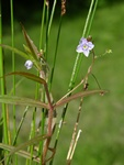 Marsh Speedwell (Veronica scutellata)