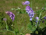 Tufted Vetch (Vicia cracca)