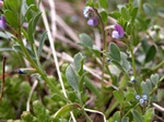 Spring Vetch (Vicia lathyroides)