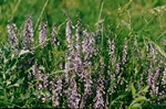 Fine-Leaved Vetch (Vicia tenuifolia)