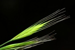 Squirrel-Tail Fescue (Vulpia bromoides)