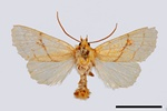 Orange Sallow (Xanthia citrago)