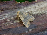 Dusky-lemon Sallow (Xanthia gilvago)