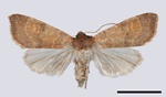 Pale-lemon Sallow (Xanthia ocellaris)
