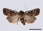Heath Rustic (Xestia agathina)