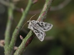 Early Grey (Xylocampa areola)
