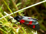 Narrow-bordered Five-spot Burnet (Zygaena lonicerae)