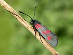 New Forest Burnet (Zygaena viciae)