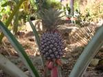 Pineaple (Ananas comosus)