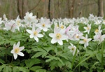 Wood Anemone, Windflower (Anemone nemorosa)