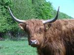 cattle, cow (Bos taurus)