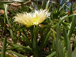 Hottentot Fig (Carpobrotus edulis)