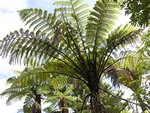 Mamuku, Black Tree Fern (Cyathea medullaris)