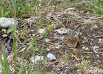 Northern Wall Brown (Lasiommata petropolitana)