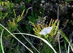 Grass Wave (Perconia strigillaria)