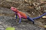 Mwanza flat-headed rock agama (Agama mwanzae)
