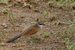 White-browed Coucal (Centropus superciliosus)