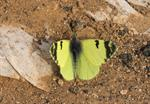 Greenish Black-tip, Lemon White (Euchloe charlonia)