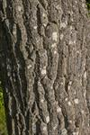 White walnut, Butternut (Juglans cinerea)