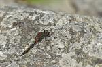 Northern White-faced Darter (Leucorrhinia rubicunda)