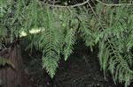 Lawson Cypress (Chamaecyparis lawsoniana)