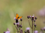 Scarce copper (Lycaena virgaureae)