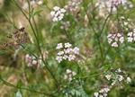 Upright Hedge-parsley (Torilis japonica)