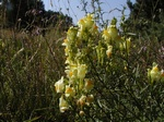 Common Toadflax (Linaria vulgaris)
