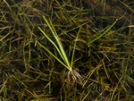 Shore-weed (Littorella uniflora)