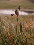 Field Wood-Rush (Luzula campestris)