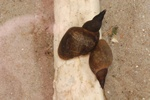Great pond snail (Lymnaea stagnalis)