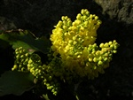 Creeping Oregon-grape (Mahonia repens)