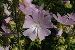 Cut-leaved Mallow (Malva alcea)