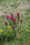 Field Cow-Wheat (Melampyrum arvense)