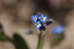 Early Forget-Me-Not (Myosotis ramosissima)