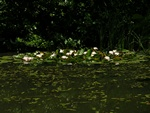 White Water-Lily (Nymphaea alba)