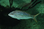 Yellowtail snapper (Ocyurus chrysurus)
