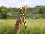 Black-lined Skimmer (Orthetrum cancellatum)