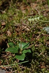 House Serrated Wintergreen (Orthilia secunda)