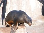 South American Sea Lion (Otaria flavescens)