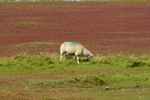 Sheep (Ovis aries)